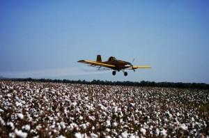 bawełna pestycydy