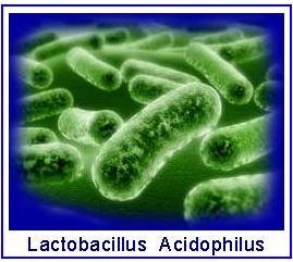 Lactobacillus-Acidophilus