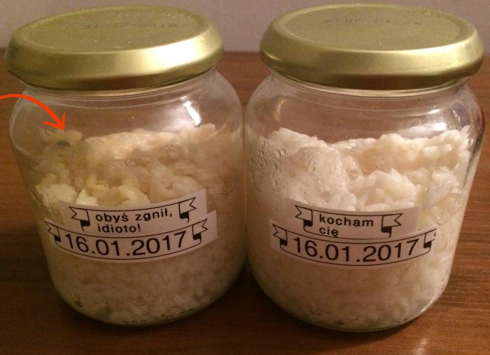 eksperyment z ryżem