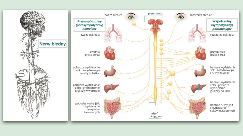 jelita a układ nerwowy